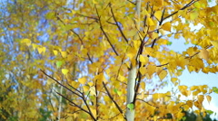 Leaves dangle in the wind. Many young birches. Stock Footage