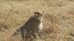 Cheetah sitting on the ground in masai mara game reserve Stock Footage