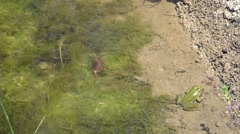 Green frog sits and small brown crab eats next to each other Stock Footage