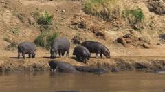 Hippo herd on river bank in masai mara, kenya Stock Footage