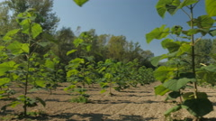 Crane shot of trees seedlings at plantation, pan right by Sheyno Stock Footage