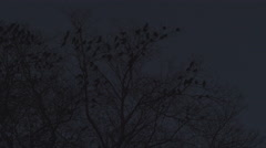 Jackdaws get scared at night Stock Footage