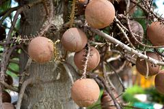 Shorea robusta Tree or Sal Fruit tree in Thai temple Stock Photos