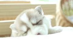 Copper Cute siberian husky puppy sleeping Stock Footage