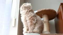 Persian cat sitting on cat tree and playing with people Stock Footage