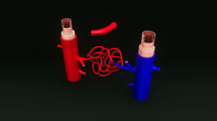 Artery & Vein Anatomy Stock Footage
