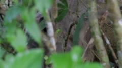 Sumatran rhinoceros in the bush, Borneo jungle Stock Footage