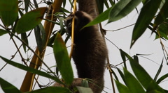 Gibbon In A Tree, In Forest Rainforest Borneo Stock Footage
