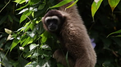 Gibbon In A Tree, In Forest Rainforest Endangered Species Stock Footage