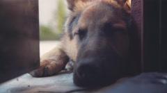 Close up of a beautiful german sheepdog Stock Footage