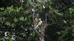 Macaque monkey sitting on top of the tree and angry Malaysia Stock Footage