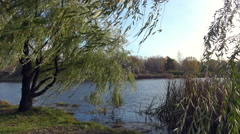 Weeping willow at a lake side Stock Footage