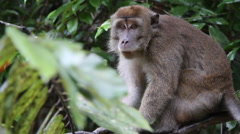 Macaque monkey watching on tree, Malaysia Stock Footage