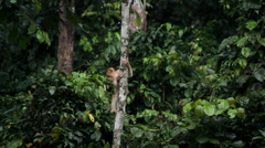 Funny Macaque monkey climbing on tree Stock Footage