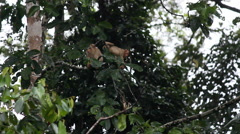 Funny Macaque monkey on tree, jumping, climbing, playing Stock Footage