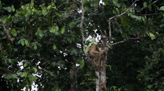 Macaque monkey sitting on top of the tree, Malaysia Stock Footage
