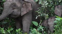 Borneo pygmy elephants in the Bornean rainforest Stock Footage