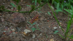 Centipede in Borneo jungle Stock Footage