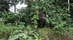 Borneo pygmy elephants in the rainforest Stock Footage