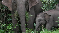 Baby borneo pygmy elephant in the Bornean rainforest Stock Footage