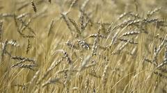 Ripe ears of wheat. Golden Field. Vintage Stock Footage
