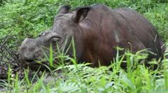 Tamtam the Sabah Rhino, Borneo Malaysia Stock Footage