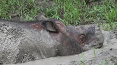 Mud bath, sabah rhinoceros, close-up Stock Footage