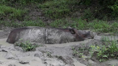 Mud bath, sabah rhinoceros, Borneo Stock Footage