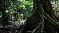 Huge tree in the rainforest Stock Footage