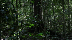 Huge rainforest filming from ground, Borneo Stock Footage