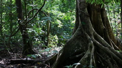 Huge tree in the rainforest, Borneo Stock Footage