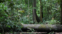 Huge Rainforest in Borneo, Malaysia filming from ground, Huge tree Stock Footage