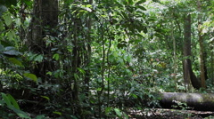 Huge Rainforest in Borneo, Malaysia filming from ground Stock Footage