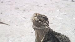 Iguana Cuba Caribbean Sea coast video Stock Footage