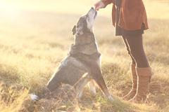 German Shepherd Mix Dog Sitting Good and Getting Treat from Owner Stock Photos