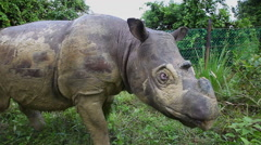 Sabah rhino walking in the protection area, Malaysia, close-up Stock Footage