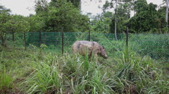 Sabah rhino walking in the protection area, Malaysia Stock Footage