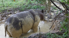 Sabah rhino standing in the mud bath Stock Footage