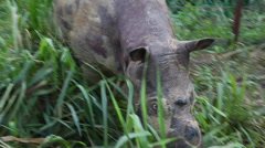 Bornean rhino walking in the protection area, close-up Stock Footage