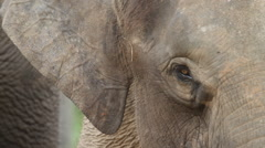 Bornean Pygmy Elephant, close-up, ears Stock Footage
