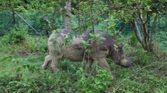 Sabah rhino walking in the protection area Stock Footage