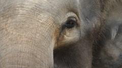 Eyes, Bornean Pygmy Elephant, close-up Stock Footage