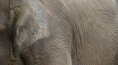 Ear, Bornean Pygmy Elephant, close-up Stock Footage