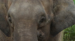 Bornean Pygmy Elephant, close-up Stock Footage