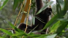 Borneo Gibbon, Rainforest Endangered Species Stock Footage
