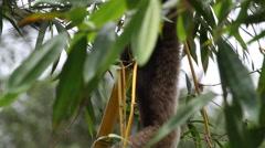 Borneo Gibbon, endangered animal Stock Footage