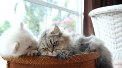 Cute siberian husky and persian cat lying in basket bed Stock Footage
