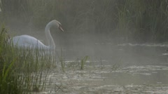 COUPLE OF SWANS WITH YOUNGS Stock Footage