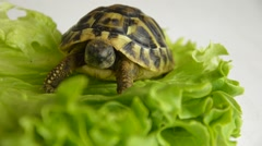 Baby land turtles crawling  on the sheet of salad Stock Footage