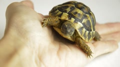Baby land turtles crawling  on hands Stock Footage